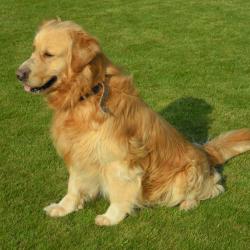 Golden Retriever hondjeshoeve