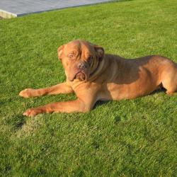 Bordeauxdog hondjeshoeve