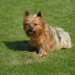 Yorkshire Terrier hondjeshoeve